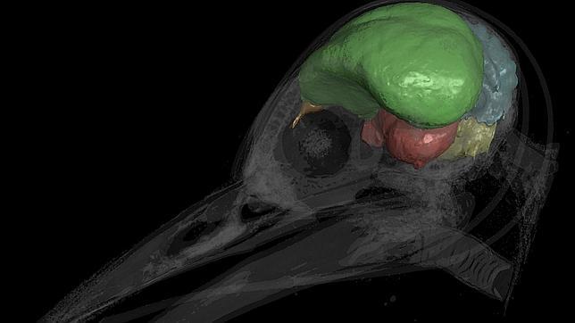 Archaeopteryx cerebro lihrguiptr