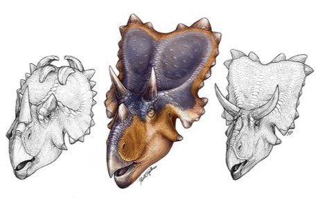 Reconstrucción de Mercuriceratops gemini (centro), comparada con la de Centrosaurus (izquierda) y con la de Chasmosaurus (derecha); todos ellos documentados en la Formación Dinosaur Park de Alberta, Canadá / Danielle Dufault