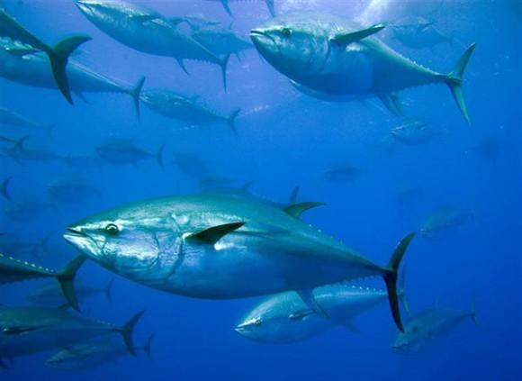 tuna-580x423 dfgchtrh