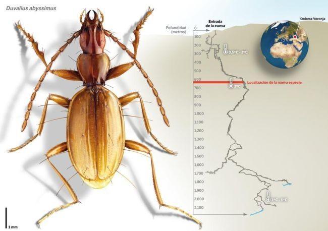 650_1000_nueva-especie-de-escarabajo-en-la-cueva-mas-profunda-del-mundo_image990_ dtgctr