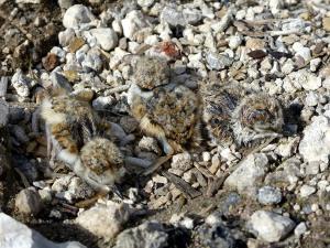 Foto-07-Charadrius-dubius-curonicus-SA-Solvay-Barreda-Torrelavega-Cantabria-140710-02-recién-nacidos htyjvut